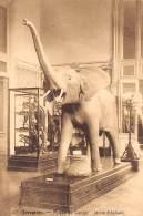 TERVUEREN - Musée Du Congo - Jeune éléphant - Tervuren