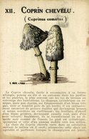 COPRINUS COMATUS - Coprin Chevelu - Champignons Mycologie     FUNGHI CHAMPIGNONS PILZE MUSHROOMS SETAS - Funghi