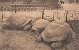 Antwerpen - Dierentuin Reuzenschildpadden - Antwerpen
