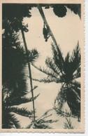 I.LES CAROLINES  2  A LA CEILLETTE  DES NOIX DE COCO - Ansichtskarten