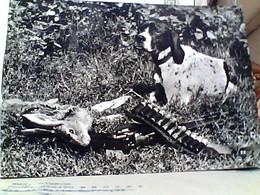 CANE - CHIEN - DOG CACCIA BRACCO  E LEPRE  CON FUCILE  VB1955 GU3477 - Hunde