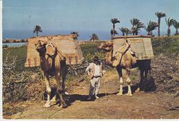 209-Mestieri-Animali-Cammelliere-Cammelli-Isole Canarie-Spagna-v.1964 X Bari - Paesani