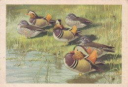 Postcard Mandarin Ducks Artwork  By Peter Scott The Wildfowl Trust Slimbridge  My Ref  B23055 - Birds