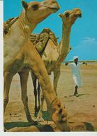 467-Folklore-Usi E Costumi-Tipi-Animali-Cammelli-Etiopia - Africa