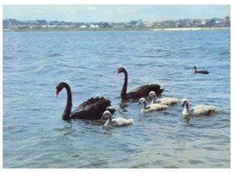 (100) Australia - Black Swan (WA) - Oiseaux