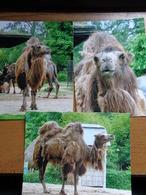 3 Foto's (photo's) Kameel In Planckendael Te Mechelen - Animaux & Faune