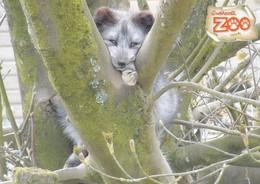 Postcard Exmoor Zoo Arctic Fox In Tree  My Ref  B23075 - Other