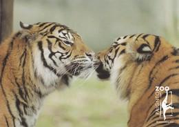 Postcard Paignton Zoo Sumatran Tigers [ Big Cats ] My Ref  B23080 - Tigers