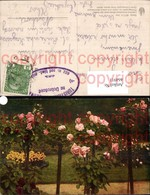 464911,Blumen Hochstamm Rosa Rote Rosen - Botanik