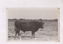 CPA PHOTO  UN TAUREAU QUELQUE PART - Vaches