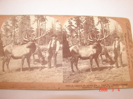 Carte Photo Stéréoscopique - Amérique - Etats Unis - Washington - Cascade Mountain Elk - 1898 - SUP (AW 57) - Etats-Unis