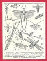 Orthoptères, Orthoptère, Criquet, Campode, Podure, Lepisme, Forficule, Blatte, Phasme, Sauterelle, Larousse 1908 - Old Paper