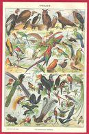 Oiseaux, Oiseau, Illustration Adolphe Millot, Larousse 1908 - Old Paper