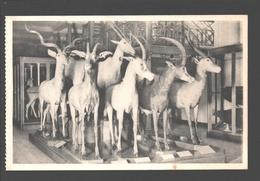 Koninklijk Belgisch Insituut Voor Natuurwetenschappen - Zaal Der Zoogdieren En Vogels - Gazelle - Animaux & Faune