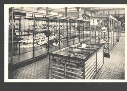 Koninklijk Belgisch Insituut Voor Natuurwetenschappen - Hainosaurus Bernard / Mosasaurus Maastricht - Animaux & Faune