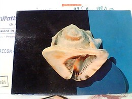 CONCHIGLIA  SHELL -- HORNED HELMET -- CASSIS CORNUTA  VB1969 GU3523 - Pesci E Crostacei