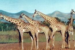 CPA BASUTOLAND -girafes -obl. 1956 MASERU - Lesotho