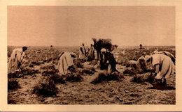 Algérie - Dans Le Sud - Arrachage De L'Alfa - Centenaire En 1930 - Scènes & Types