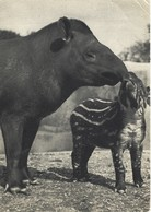 Animaux - Comité National De L'enfance - Un Tapir D'amérique Et Son Petit - Parc Zoo De Vincennes - Autres