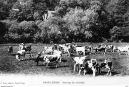 88 - RAON-L'ETAPE - Paturage Des Chatelles (Vaches) - Raon L'Etape