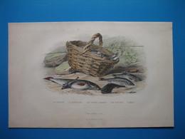 (1901) Planche : La Truite  -  L' Épinoche  -  Le Cotte Chabot  -  Le Goujon  -  L' Able - Collections
