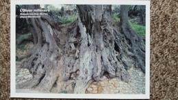CPM ARBRE L OLIVIER MILLENAIRE DE ROQUEBRUNE CAP MARTIN 06 ARBRES REMARQUABLES ASSOCIATION PROTECTION ARBRES - Trees