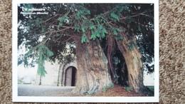CPM ARBRE L IF MILLENAIRE DE SAINT URSIN MANCHE 50  ARBRES REMARQUABLES ASSOCIATION PROTECTION ARBRES - Trees