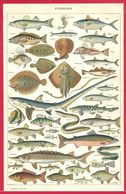 Poissons, Poisson, Illustration Adolphe Millot, Bar, Thon, Hippocampe, Serran, Anchois, Muge..., Larousse 1908 - Autres