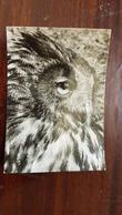 """Eagle Owl In Prague Zoo"". Old Postcard.. 1950s - Oiseaux"