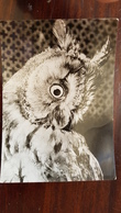 """Eagle Owl In Prague Zoo"". Old Postcard.. 1950s Falco - Oiseaux"