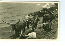 CP Ruanda Bétails Sacrés  Photogr. Zagourski 1930ss. L'Afrique Qui Disparaît 105 - Ruanda-Urundi