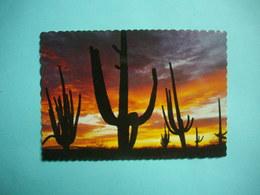 Giant Saguaros Silhouetted  -  ARIZONA  -  Etats Unis - Etats-Unis