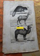 Castor, Chameau Et Chamois : Planche Du Nouveau Dictionnaire D'histoire Naturelle - 1803 - Stampe & Incisioni