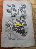 Plantes Dont Camelia : Planche Du Nouveau Dictionnaire D'histoire Naturelle - 1803 - Stampe & Incisioni