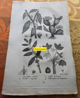 Plantes Dont Cacaoyer : Planche Du Nouveau Dictionnaire D'histoire Naturelle - 1803 - Estampes & Gravures