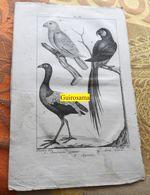 Amazone, Ara Et Agami : Planche Du Nouveau Dictionnaire D'histoire Naturelle - 1803 - Stampe & Incisioni