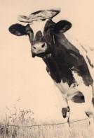France Portrait D'une Vache En Gros Plan Scene De Campagne Ancienne Photo 1930's - Photographs