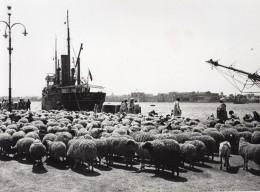 Lybie Tripoli Moutons En Attente D'embarquement Lido Genova Ancienne Photo 1940's? - Africa
