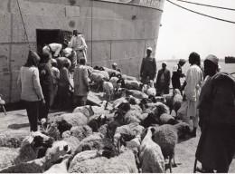 Lybie Tripoli Moutons En Attente D'embarquement Bateau Ancienne Photo 1940's? - Africa