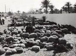 Lybie Port De Tripoli Moutons En Attente D'embarquement Ancienne Photo 1940's? - Africa