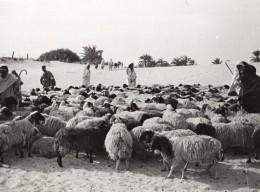 Lybie Troupeau De Moutons Bergers Pres D'un Oasis Secheresse Ancienne Photo 1940's? - Africa
