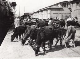 Lybie Tripoli Bovins En Attente D'embarquement Bateau Ancienne Photo 1940's? - Africa