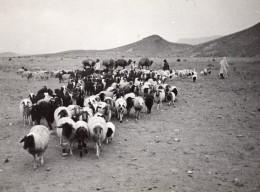 Lybie Moutons En Route Pour Tripoli Pour Embarquement Ancienne Photo 1940's? - Africa