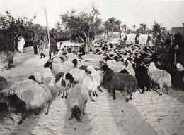 Lybie Transport De Moutons Troupeau Par Voie Ferree Train Ancienne Photo 1940's? - Africa