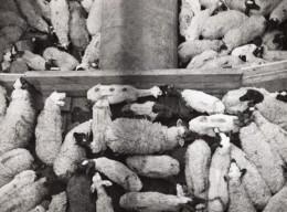 Lybie Benghazi? Troupeau Parc A Moutons Ancienne Photo 1940's? - Africa