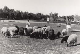 Lybie Troupeau De Moutons Karakul Et Bergers Ancienne Photo 1940's? - Africa