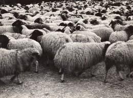 Lybie Derna Troupeau De Moutons Ancienne Photo 1940's? - Africa