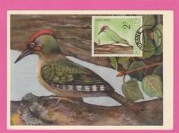 Carte Maximum - Oiseaux - Pic-vert - Albanie - - Specht- & Bartvögel