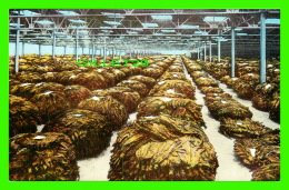 TABAC - INTERIOR OF A LOOSE LEAF TOBACCO WAREHOUSE -  A FLORIDA PRE VUES-POST CARD - - Tabaco