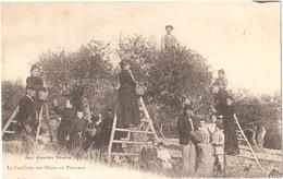 Dépt 13 - La Cueillette Des Olives En Provence - Phot. Blanchin, TARASCON - Tarascon